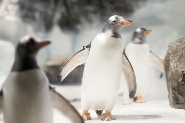 Penguins at National Sea Life Centre in Birmingham