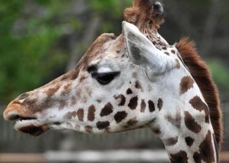 ZSL zoo Giraffe