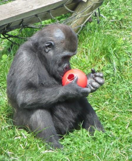Twycross Zoo baby gorilla