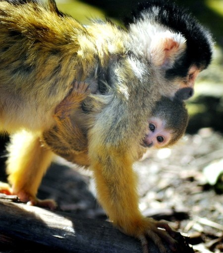 monkeys at Chessington World of Adventures Zoo