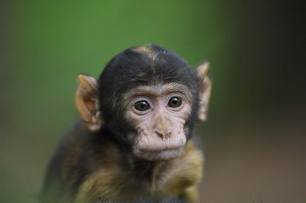 Trentham Monkey Forest baby monkey