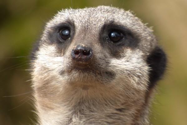 Twycross Zoo Meerkat