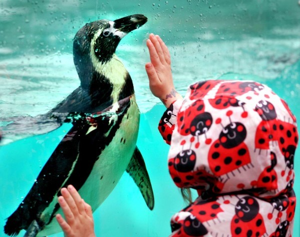 child greeting penguin at London Zoo